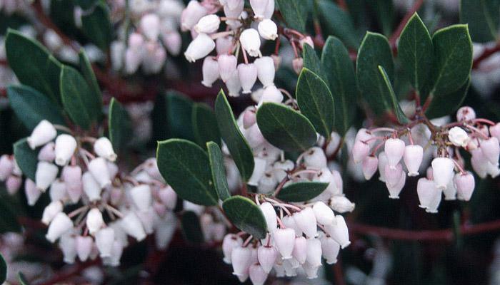 Blog: Lessons of the Manzanita Tree